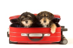 chiots dans valise rouge - sports d'hiver