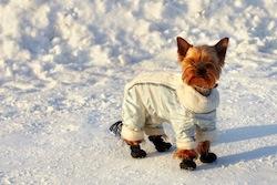 yorkshire en combinaison et bottes dans neige - sports d'hiver