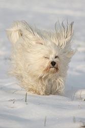 chien blanc qui court dans neige - sports d'hiver