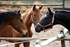 Activité sexuelle du cheval