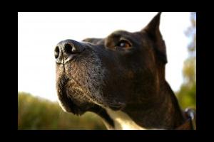 Permis de détention des chiens de catégorie