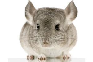 La castration des lapins, cochon d'Inde et chinchilla