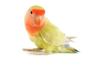 oiseaux-inseparable