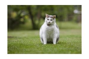 Comment gérer un surpoids chez le chat ?