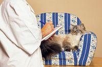 chat sacré de birmanie sur le divan du psy pour chats