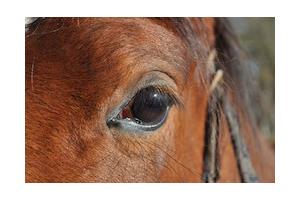 Fluxion périodique du cheval