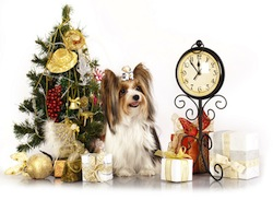 biewer Yorkshire terrier and Christmas Gift