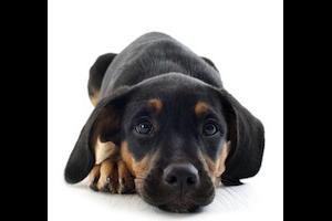 La parvovirose du chien