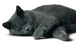 mue-chat-chartreux