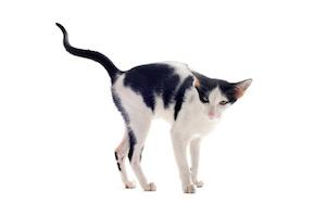 Quelle différence entre élimination et marquage urinaire chez le chat ?