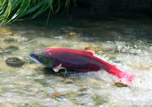 saumon rouge - repas de fêtes
