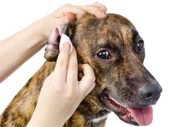 Hygiène de votre chien  : les yeux et les oreilles