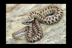 Les intoxications par les serpents venimeux