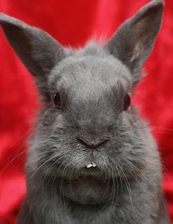 Incisives anormales chez un lapin présentant une malocclusion dentaire
