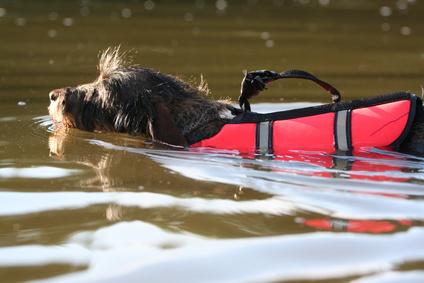Hunde-Schwimmweste / Dackel mit Schwimmweste