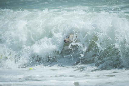 Color picture of a dog jumping in a wave