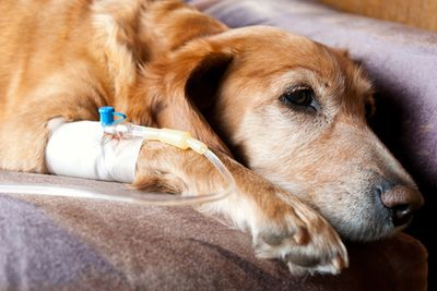 Perfusion d'un chien