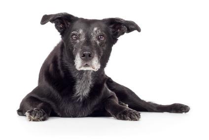 Schwarzer alter Hund Mischling liegt intesessiert auf Boden