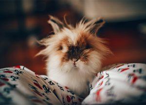 Les troubles cutanés du furet, du lapin et des rongeurs