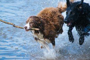 deux chiens courant dans l'eau-zoonoses