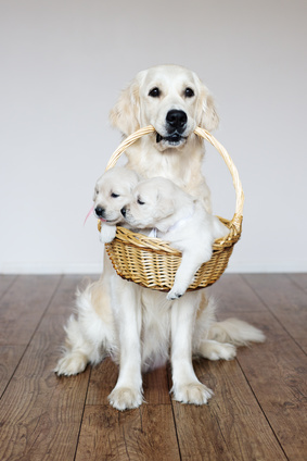 chienne portant dans sa gueule un panier contenant ses chiots-age
