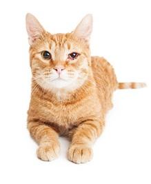 chat avec suture à l'œil
