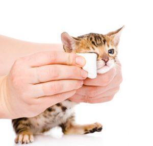 œil d'un chaton nettoye avec une compresse