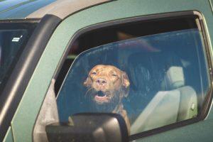 chien derriere vitre de voiture-troubles estivaux