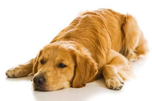 chien couché-maladie de lyme