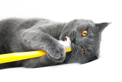 chat tenant brosse a dents en gueule-nouvelle annee