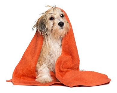 serviette de toilette entourant un chien-otite