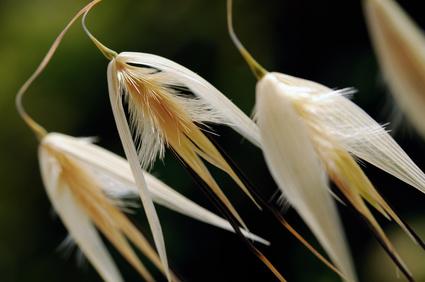 herbes seches epillets-otite