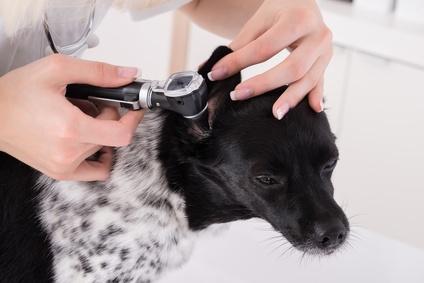 auscultation oreille chien-otite