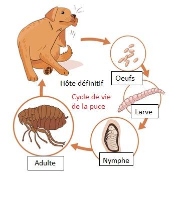 schema cycle de vie puces