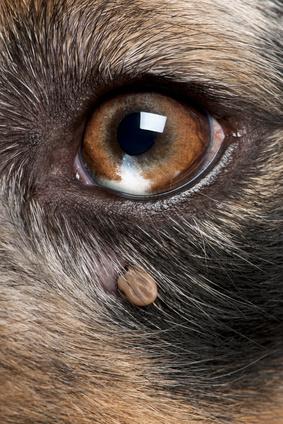 tique sous l'œil d'un chien