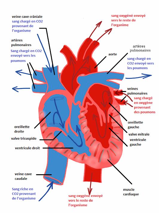 schema fonctionnement coeur-maladies cardiaques