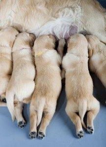 Agalactie et insuffisance laitière chez la chienne