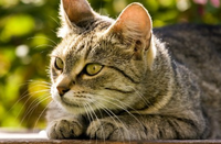 chat-couche-asthme-felin-homeopathie
