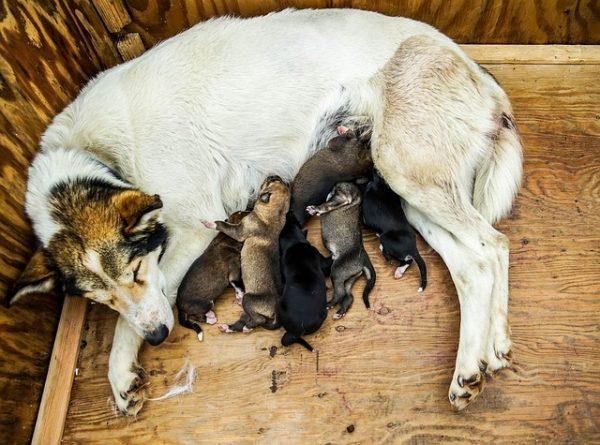 chienne allaitant chiot - cesarienne