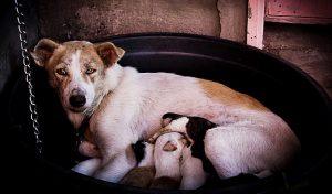 Césarienne chez la chienne : Quand la réaliser ?