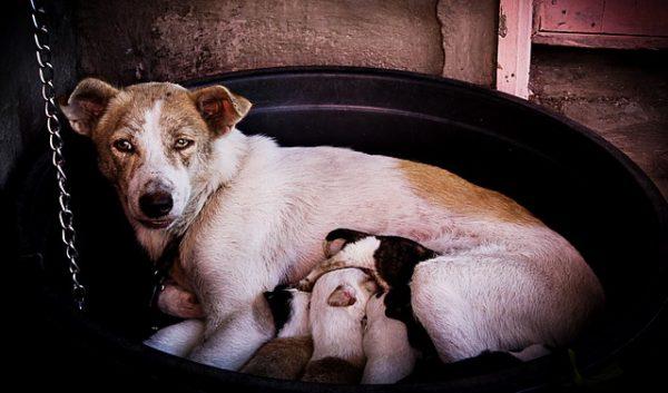 chienne allaitement chiots panier - cesarienne