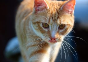 Malpropreté urinaire du chat : conduite à tenir