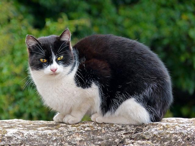 chat-noir-blanc-assis-pierre-malproprete urinaire