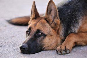 La panostéite chez le chien