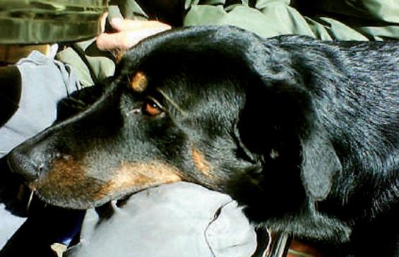 chien reposant sa tete sur genou - repousser chien calin