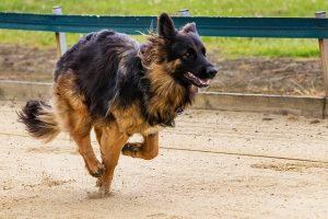 Contractures musculaires chez le chien
