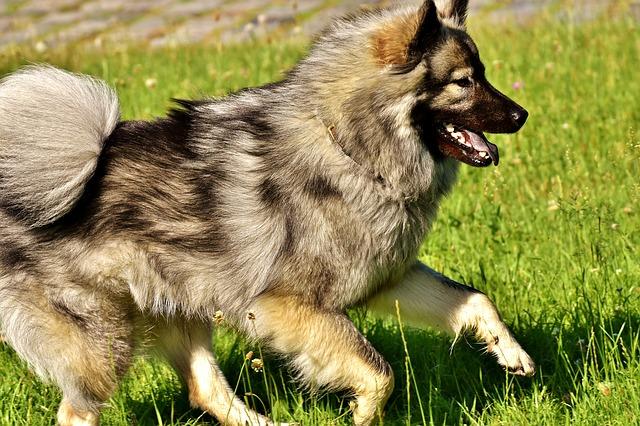 chien-course-panosteite