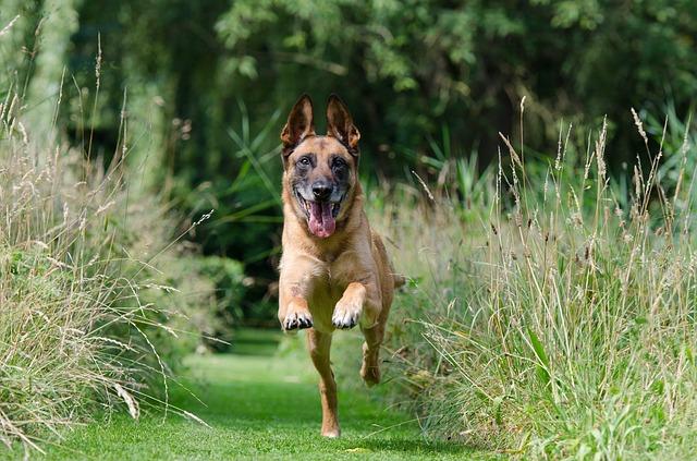 chien-malinois-course-exercice