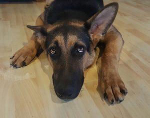 Phobie des orages et des coups de feu chez le chien