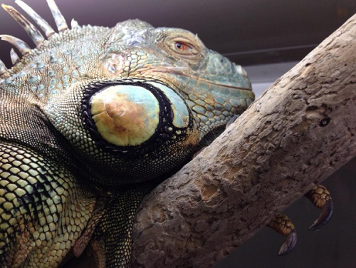 iguane sur branche - terrarium